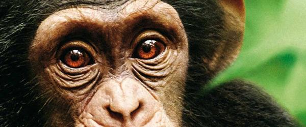 Cinéma en plein-air à Rambouillet : Chimpanzés