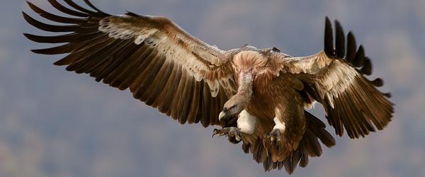 Actualités Rambouillet - A la rencontre des vautours à l'Espace Rambouillet les 1er et 2 septembre 2018