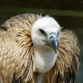 Actualités Rambouillet - Rambouillet journée des vautours